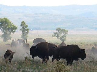 Frisky Bison